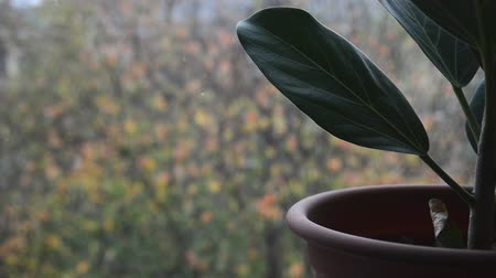 ficus : green ficus plant in brown pot on windowsill with blurry falling first fluffy snow and colorful leaves outside home window, close up full HD stock video footage background in real-time Stock Footage