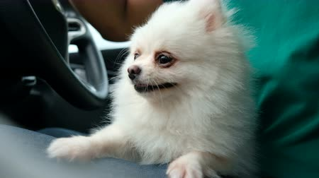 White pomeranian sitting on lap along the way and stay alert