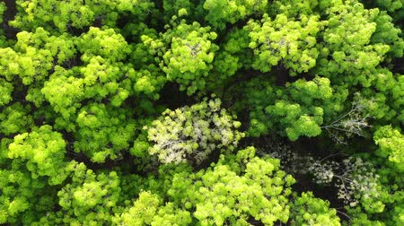 Aerial view light green leaves of rubber trees forest with fly higher shot Stock mozgókép