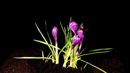 krokus : Growth of violet crocuses on the black background (crocus Flower Record) (Time Lapse)