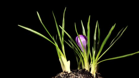 blooms : Growth of violet crocuses on the black background (crocus Remembrance) (Time Lapse)