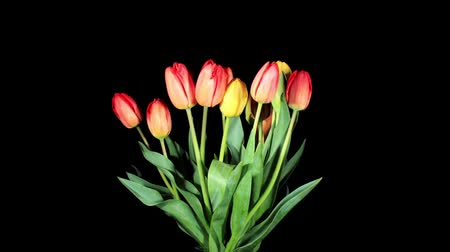 tulipany : Blooming tulips on the black background, timelapse Wideo