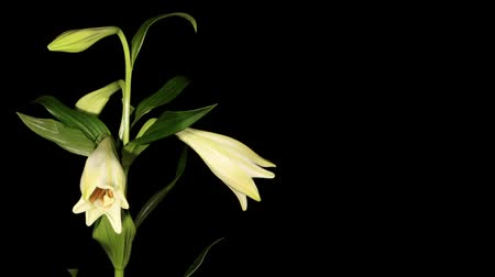 flor cabeça : White lily on the black background (longiflorum. White Europe) timelapse