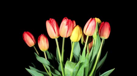 open blossom : Blooming tulips on the black background, timelapse Stock Footage