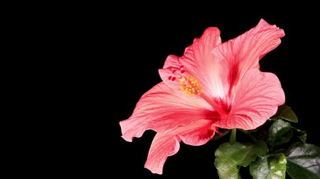 estames : Blooming pink Hibiscus on a black background (Hibiscus Athens) (Time Lapse) Vídeos