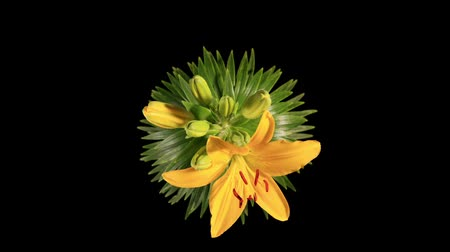 flor cabeça : Flowering yellow lily on the black background (L. prominet) Stock Footage