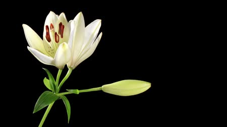 flor cabeça : Blooming white lily on the black background (Lilium monadelphum subsp. armenum), timelapse
