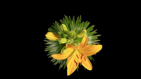 flor cabeça : Flowering yellow lily on the black background (L. prominet)