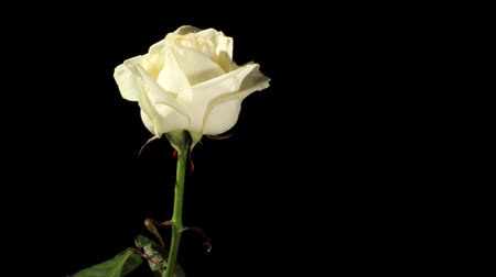 Роуз : Blooming white roses on the black background, timelapse