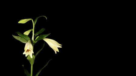 lilie : White lily on the black background (longiflorum. White Europe) timelapse