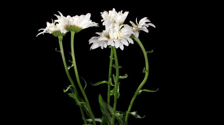 stokrotki : Blooming white daisies on the black background (Leucanthemum) timelapse