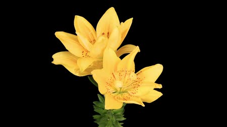 black yellow : Flowering yellow lily on the black background (L. prominet) Stock Footage