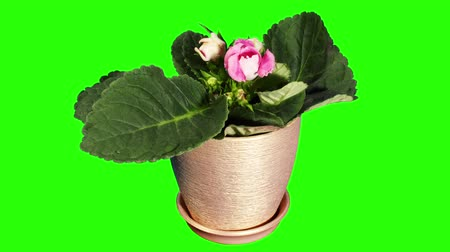 um objeto : Growth of Gloxinia flower buds green screen, FULL HD  (Gloxinia soft light) (Time Lapse)