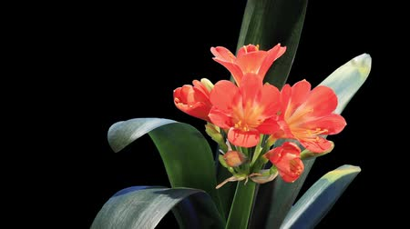fosco : Growth of Clivia flower buds ALPHA matte, FULL HD. (Clivia miniata) (Time Lapse) Stock Footage