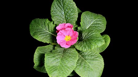 estigma : Flowering pink primula on the black background (Primula vulgaris. Bright pink)