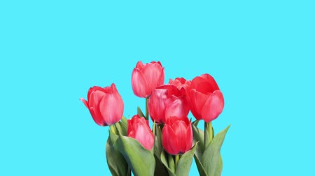 bouquets : Blooming red tulips flower buds ALPHA matte, timelapse