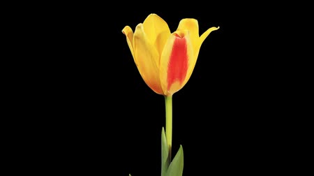 tulipany : Yellow tulip bloom buds ALPHA matte, FULL HD (Tulipa kaufmanniana Johann Strauss)