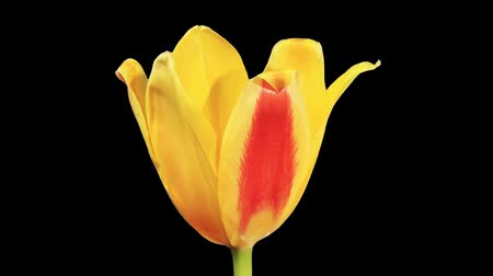 blooms : Yellow tulip bloom buds ALPHA matte, FULL HD (Tulipa kaufmanniana Johann Strauss)