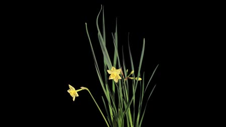 abrótea : Yellow narcissus blossom buds ALPHA matte, FULL HD (Narcissus Jonquilla Pipit). timelapse