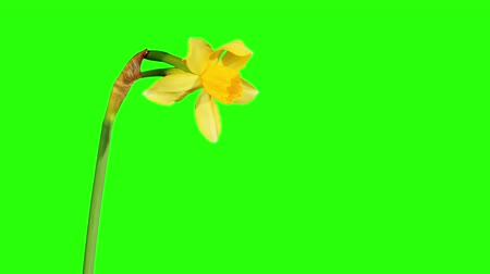 narciso : Yellow narcissus blossom buds green screen, FULL HD (Narcissus Jonquilla Pipit). timelapse Stock Footage