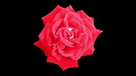 flor cabeça : Blooming red roses flower buds ALPHA matte, FULL HD. (Rose Latin Lady), timelapse