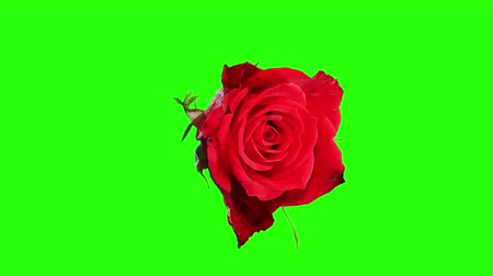 flower : Blooming red roses flower buds green screen, FULL HD. (Rose Red Magic), timelapse
