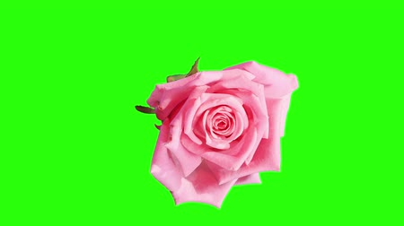 flower : Blooming pink roses flower buds green screen, FULL HD. (Rose Aqua), timelapse Stock Footage