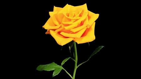 único : Blooming yellow roses flower buds ALPHA matte, FULL HD. (Rose Kerio), timelapse