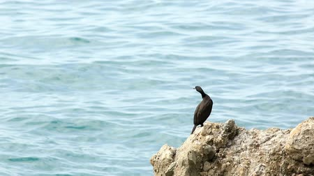 krym : Black duck on the beach. Mountain Meganom, Crimea, Russia. FULL HD (Netta peposaca)  Wideo