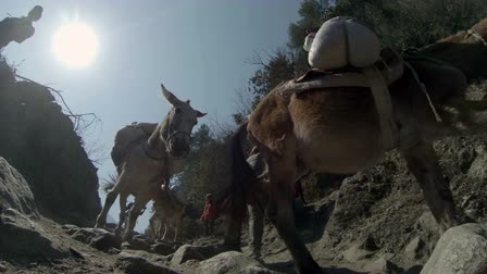 поход : HIMALAYAS, NEPAL - MARCH, 2014: 2.7K. Mules carrying gas cylinders, Nepal. Full HD. 2704x1524 Стоковые видеозаписи
