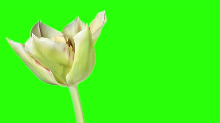 tulipany : White tulip bloom buds green screen, FULL HD (Tulipa viridiflora Flaming Spring Green)
