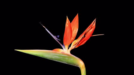 paraíso : Blooming Strelitzia flower buds ALPHA matte, FULL HD. (Strelitzia reginae) (Time Lapse)