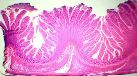 microscopy : cross-section of the small intestine under the microscope (Small Intestine Sec.), Full HD