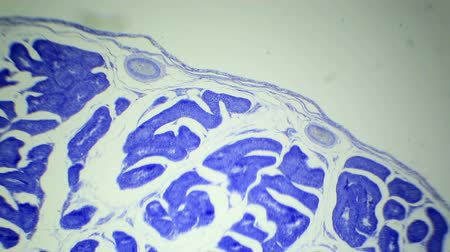 plemniki : Slice the Testis cat under the microscope (Testis Sec.), Ful HD