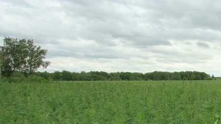 конопля : Movement of clouds over the hemp field, Full HD