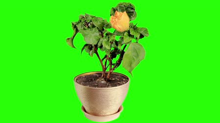 krzak : Blooming yellow Hibiscus flower buds green screen, Hibiscus Valencia, FULL HD. Time Lapse