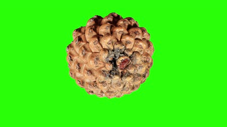 um objeto : Disclosure of pine cones green screen, Pinus L., Full HD.