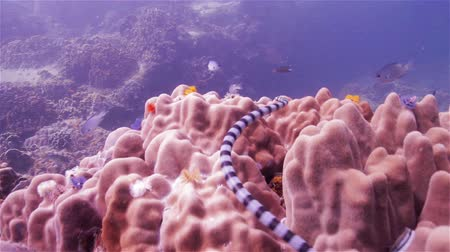 krait : Sea snake swimming over coral