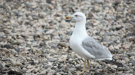 racek : Wondering seagull on rocky stones beach