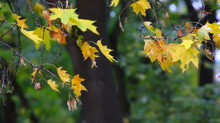 autumn : Yellow maple leaves trembling on the wind