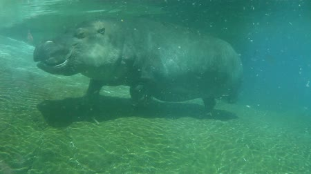 hippos : Hippo swimming underwater on sunny day, slow motion Stock Footage