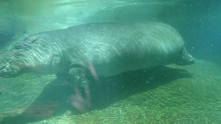 underwater video : Hippo swimming underwater on sunny day