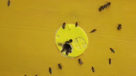pszczoła : Yellow beehive with flying and crawling bees Wideo