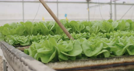 hydroponic : hydrophonic lattuce floating on water in a greenhouse