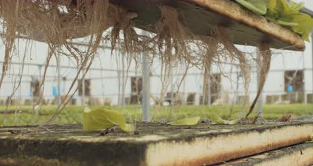 hydroponic : Workers during harvest of hydrophonic lattuce in a greenhouse