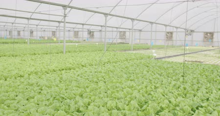 hydroponic : Hydrophonic lattuce in a greenhouse Stock Footage