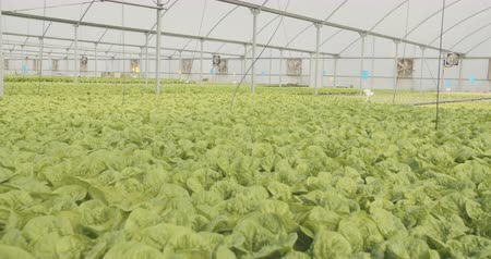 орошение : Crane shot of Hydrophonic lattuce in a greenhouse