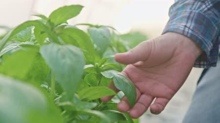 seedlings : Closeup of hand picking Basil leafs in a greenhouse