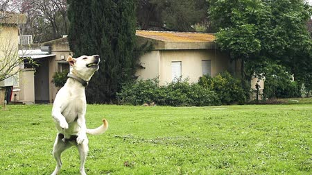 zvedák : Super slow motion of a white dog catching a tennis ball Dostupné videozáznamy
