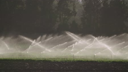 засуха : Slow motion of many impact sprinklers irrigating a field during sunset
